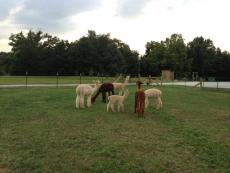 alpaca-meeting