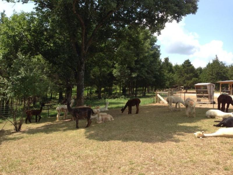 relaxing-alpacas