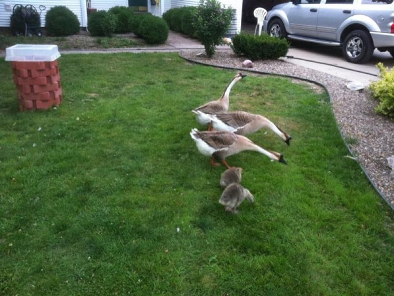 goose-troop